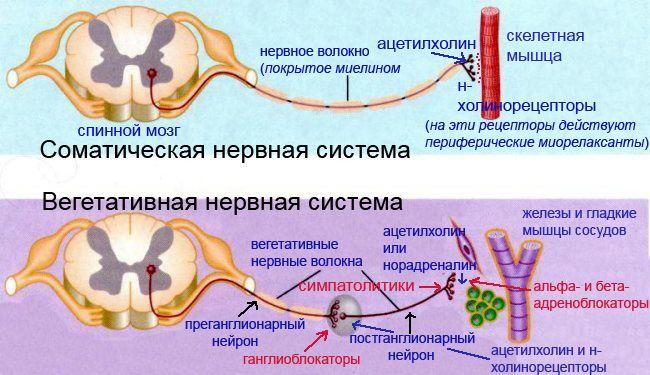 сравнение строения соматической и вегетативной нервной системы