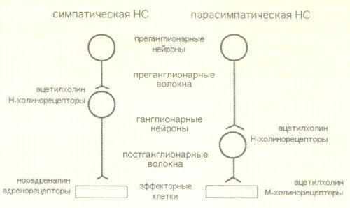 сравнение строения симпатической и парасимпатической нервной системы