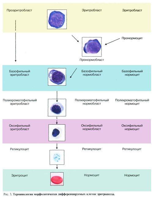 этапы развития эритроцитов