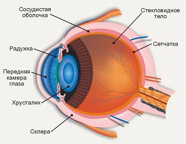 Мультимедиа-анатомия: строение глаза.