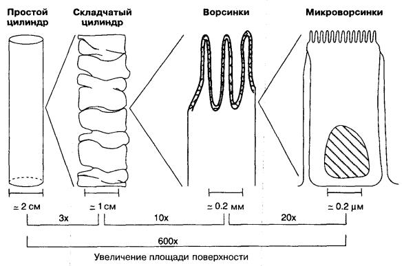 складки, ворсинки и микроворсинки кишечника