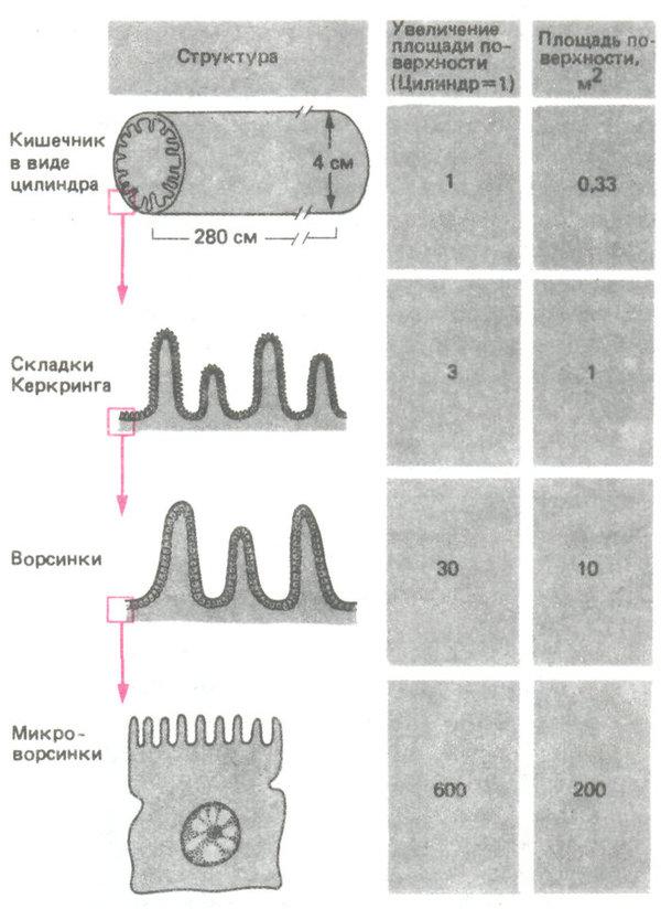 увеличение площади поверхности кишечника благодаря складкам, ворсинкам и микроворсинкам