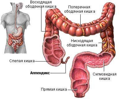 аппендикс и строение толстого кишечника