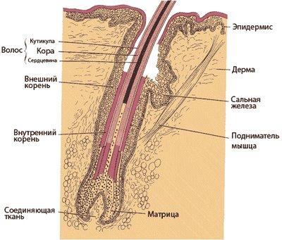 строение волоса и сальная железа