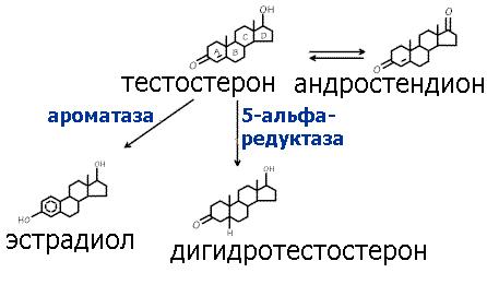 превращение тестостерона в дигидротестостерон